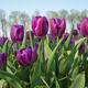 Traditional Dutch tulip field - PhotoDune Item for Sale