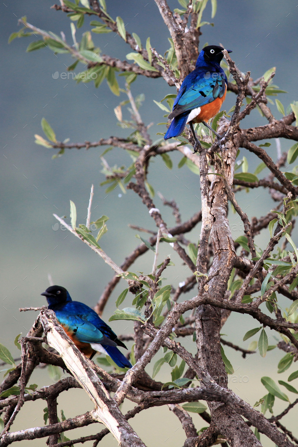 Splendid Starling - Maasai Mara Reserve - Kenya - Stock Photo - Images