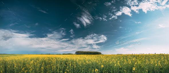 Blossom Of Canola Yellow Flowers Under Sunny Sky. Rape Plant, Ra - Stock Photo - Images