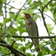 Thrush nightingale (Luscinia luscinia) - PhotoDune Item for Sale