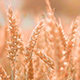 Romantic Golden Grain Field in Sunset - VideoHive Item for Sale