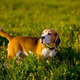 Beagle hunting dog for a walk in the field - PhotoDune Item for Sale