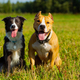 Friends. Dogs. Staffordshire terrier and border collie walking in a field. Sunny day. Summer - PhotoDune Item for Sale