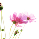 Pink cosmos on white background - PhotoDune Item for Sale