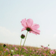 Pink cosmos on field at sky - PhotoDune Item for Sale