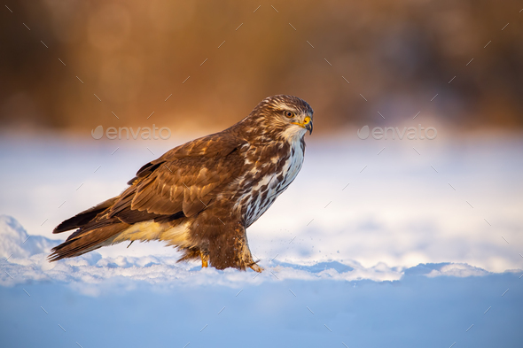 Common buzzard, buteo buteo, in winter on a snow at sunset - Stock Photo - Images
