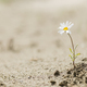 Daisy flower blooming on a sand desert - PhotoDune Item for Sale