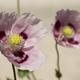 Opium poppy flower - PhotoDune Item for Sale