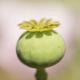 Opium poppy flower seed pod - PhotoDune Item for Sale
