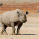 Black rhinoceros in natural habitat - PhotoDune Item for Sale