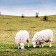 Two sheep on green meadow eating grass - PhotoDune Item for Sale