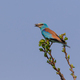 European Roller (Coracias garrulus) on a tree - PhotoDune Item for Sale