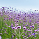 verbena bonariensis flower field - PhotoDune Item for Sale