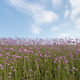 verbena bonariensis in bloom - PhotoDune Item for Sale