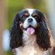 Happy dog, cavalier spaniel - PhotoDune Item for Sale