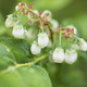 Morning Dew on Blueberry Flowers - PhotoDune Item for Sale