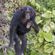 Chimpanzee (Pan troglodytes) - PhotoDune Item for Sale