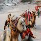 Camels - PhotoDune Item for Sale