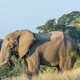African elephant with large tusks - PhotoDune Item for Sale