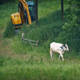 Cow Walks Past In Field With Farm Machine - VideoHive Item for Sale