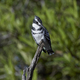 Pied kingfisher (Ceryle rudis) - PhotoDune Item for Sale