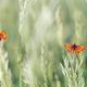 Butterfly - Dark Green Fritillary, Argynnis aglaja - PhotoDune Item for Sale