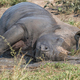 White rhino taking a mudbath - PhotoDune Item for Sale