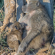 Young chacma baboon suckling on its sleeping mother - PhotoDune Item for Sale