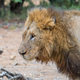 Profile of a scarred male lion - PhotoDune Item for Sale