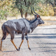 Nyala bull crossing a gravel road - PhotoDune Item for Sale