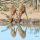 Nyala bulls and cows drinking water in a waterhole - PhotoDune Item for Sale