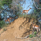 Impala ewes and calves on an antheap - PhotoDune Item for Sale