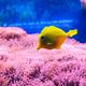Yellow tang fish. - PhotoDune Item for Sale