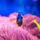 Blue tang surgeonfish - PhotoDune Item for Sale