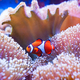 Clown fish swimming in the corals. - PhotoDune Item for Sale
