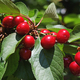 Ripening cherry on tree close-up - PhotoDune Item for Sale
