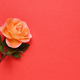 Coral rose on red background with text space - PhotoDune Item for Sale