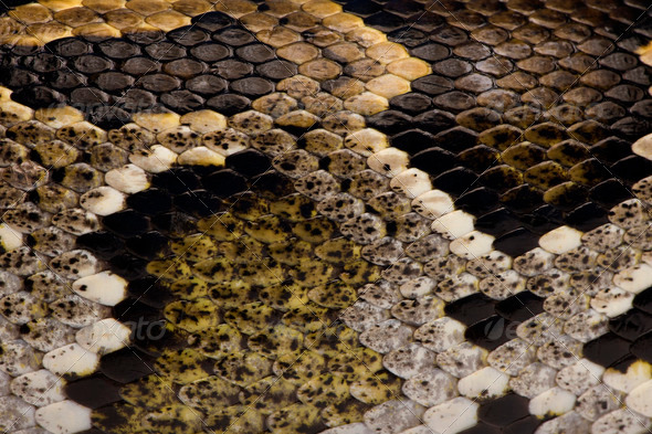 Close-up of Python regius' snakeskin - Stock Photo - Images