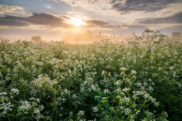 Misty sunrise on the river bank with flowers. - Stock Photo - Images