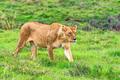 Lioness walks in savanna - PhotoDune Item for Sale