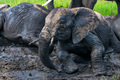 African elephants or Loxodonta cyclotis in mud - PhotoDune Item for Sale