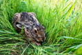 European hare or Lepus europaeus sits in a meadow - PhotoDune Item for Sale