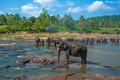 Elephants bathing in the river - PhotoDune Item for Sale
