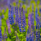 Lupins bloom in the field during the summer day - PhotoDune Item for Sale