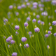 Blooming onion on the background of green grass in the summer afternoon - PhotoDune Item for Sale
