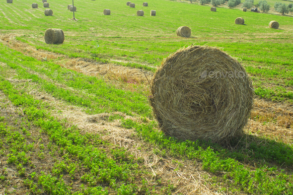 Hay harvest in Tuscany - Stock Photo - Images