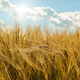 Barley field under cloudy blue sky in Ukraine - PhotoDune Item for Sale