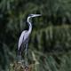 Black-headed heron (Ardea melanocephala) - PhotoDune Item for Sale