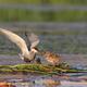 common tern (sterna hirundo) - PhotoDune Item for Sale