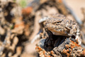Close portrait of Phrynocephalus helioscopus agama in nature - PhotoDune Item for Sale